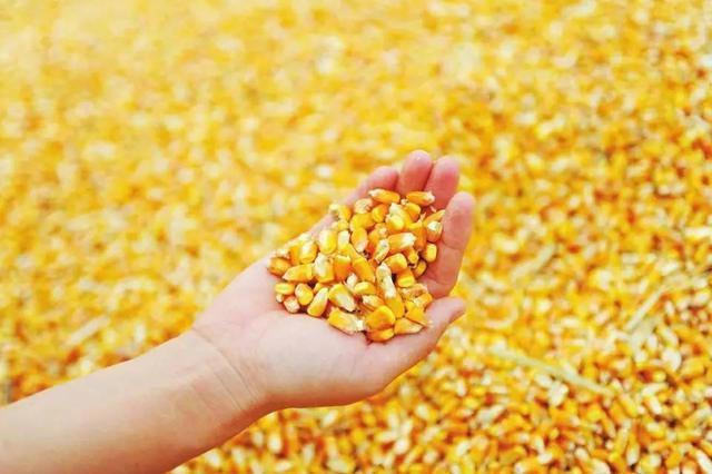 冯吉龙:非洲猪瘟影响了玉米消费4000万吨