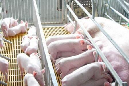 初秋来临,猪场该怎么让母猪排卵多产仔?