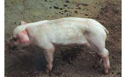 仔猪断奶后越来越瘦?这个慢性病一定要防
