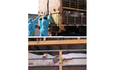 """这个""""铁桶猪场"""",开始卖猪了!"""