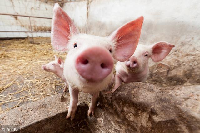 安排8.5亿元,北京三年新建50个生猪规模养殖场