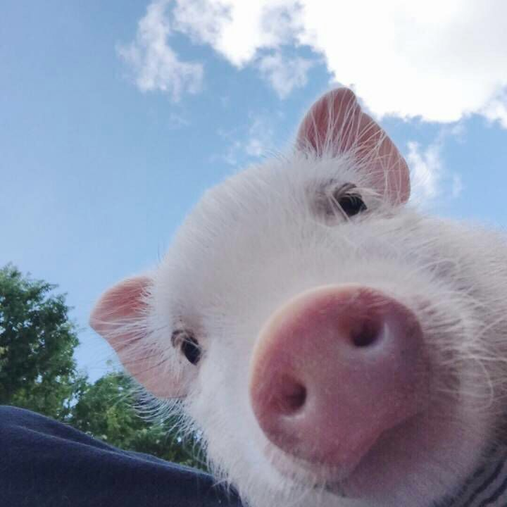 2020四川农业目标 生猪出栏6000万头