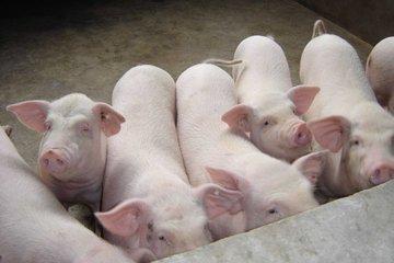 国家统计局:2月中旬生猪价格较上旬涨2.6%