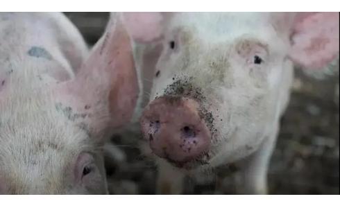 今年以来9000+新建猪场投产,11000+规模猪场复养,小散也坐不住了?