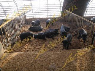 金宝贝发酵床带您了解藏香猪养殖周期招商