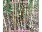 新一代牧草作物之王――蜜蔗1号牧草